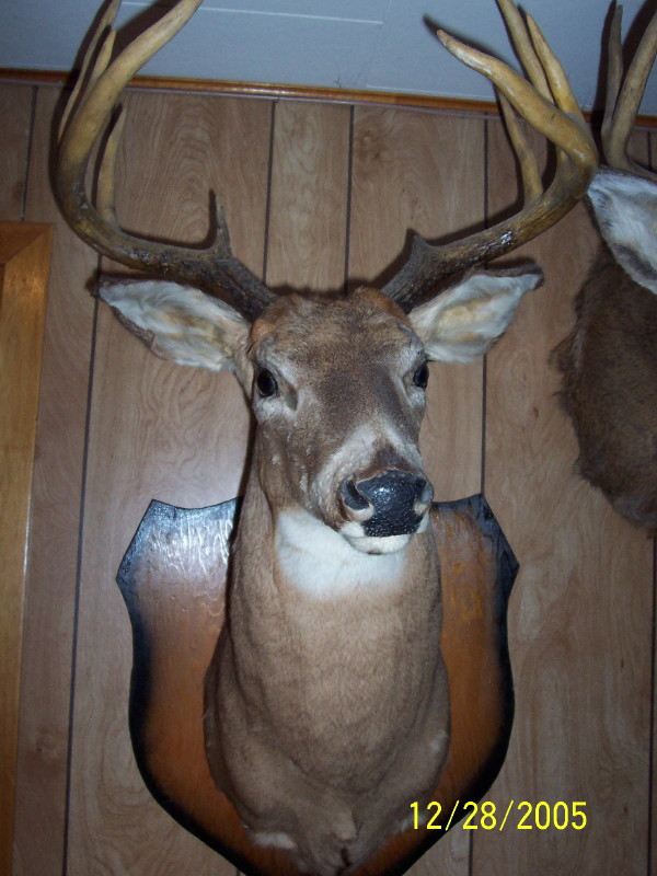 Deer Shoulder Mount